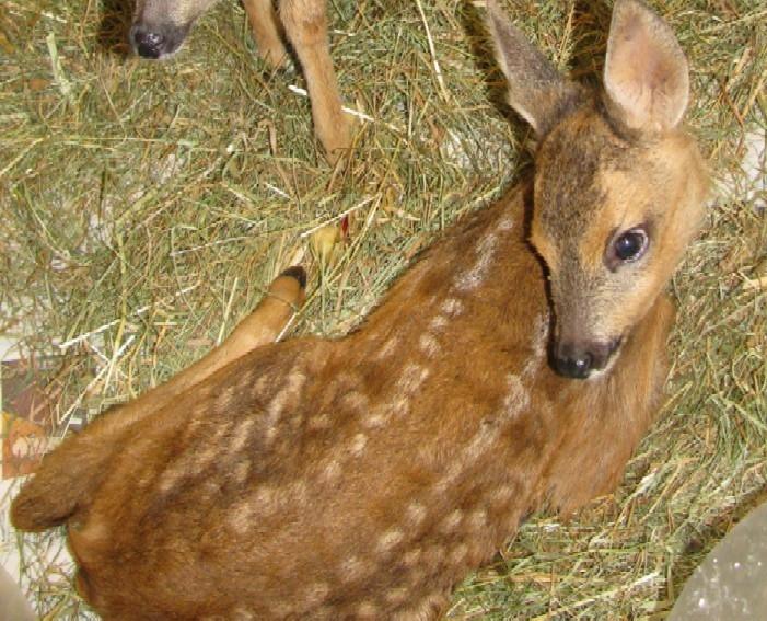 Capriolo nell orto di casa for Capriolo animale