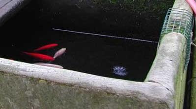 savona abbandona pesci rossi in giardino denunciata