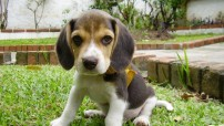 beagle_puppy_sitting_on_grass